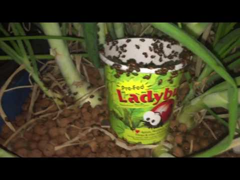 Killing Aphids with Killer Ladybugs!!!