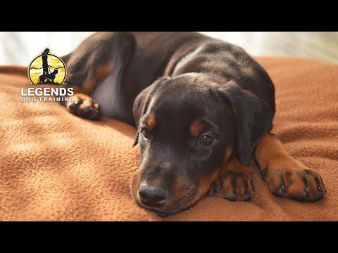 Doberman Pinscher: Puppy Training