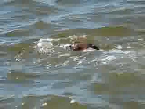 boxer dog trying to swim
