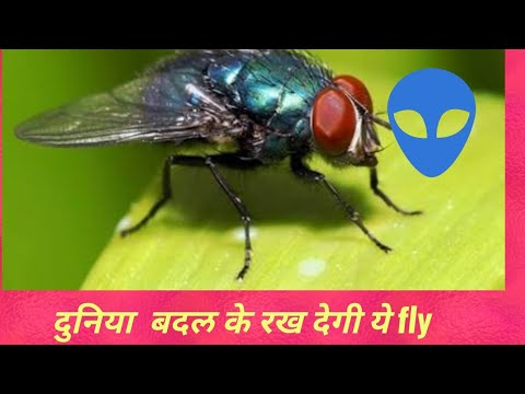House Fly: spreading diseases