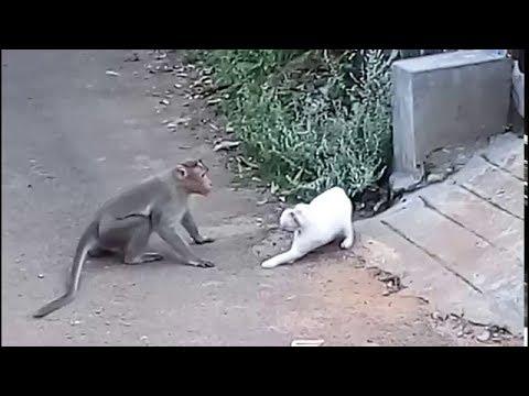 Cat Fights Off 5 Monkeys!!!