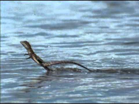 Basilisk lizard runs on water, Rate My Science