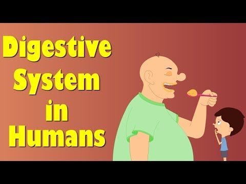 Digestive System of Human Body | It's AumSum Time