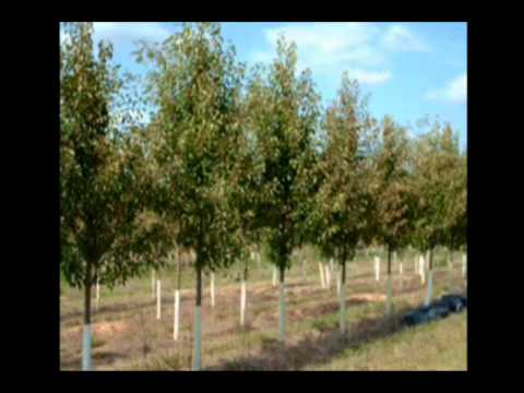 TT Flowering Pears and River Birch Trees in Tennessee