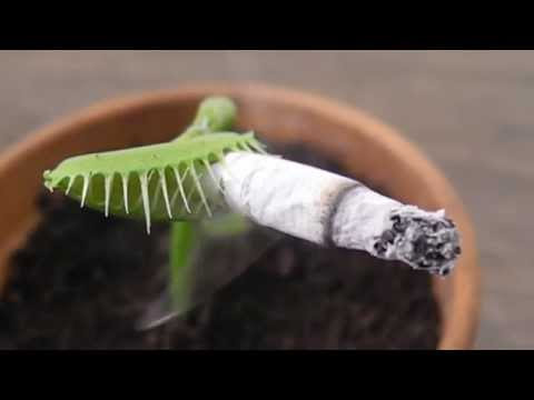 Carnivorous Plant Smoking a CIGARETTE (捕蠅草)