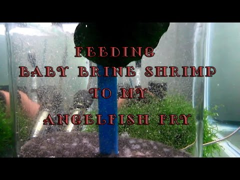 Feeding Baby Brine Shrimp to Angelfish fry