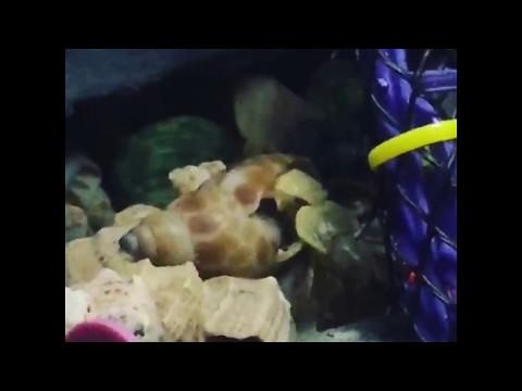 Land hermit crab shell change