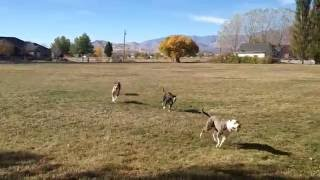 Pit Bulls almost collide chasing the ball!