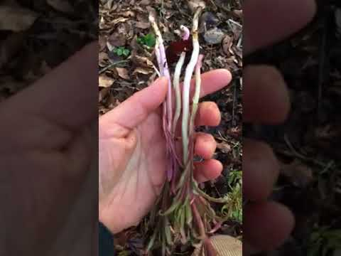 Fireweed / Rosebay Willowherb  Shoots (Epilobium angustifolium or Chamerion angustifolium)