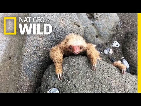 Baby Sloth Is Rescued in Costa Rica | Nat Geo Wild