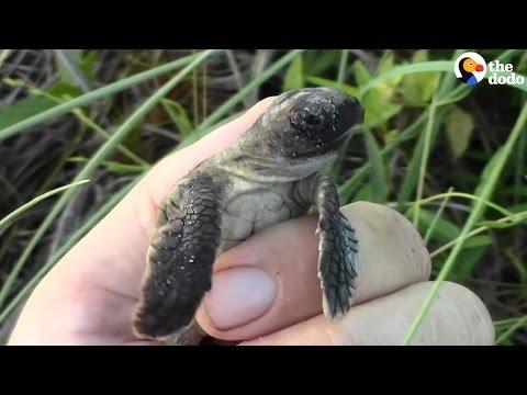 Lost Baby Sea Turtles Get Help Returning To The Ocean
