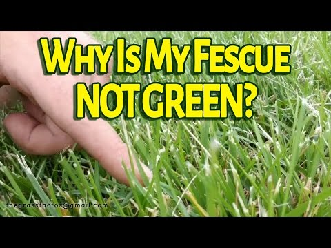 Why Is My Tall Fescue Not GREEN? - The Grass Factor