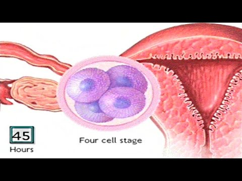 How The Embryo Develops After Fertilisation - Human Development Animation - Zygote Cell Division Vid
