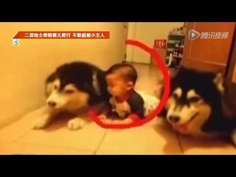 Huskies teach Chinese baby how to crawl   That's Magazines