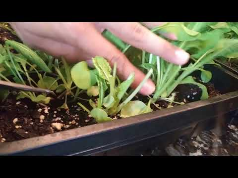 Harvest Arugula and regrow in days