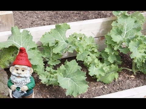 When and How to Harvest Kale