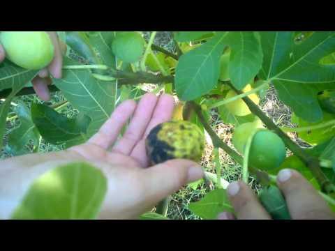 Kadota figs in Georgia - Determining if they are ripe.