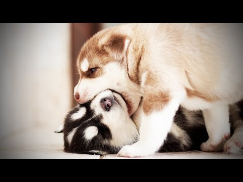 PUPPY FIGHTS ★ Funny Puppies Fighting (HD) [Funny Pets]