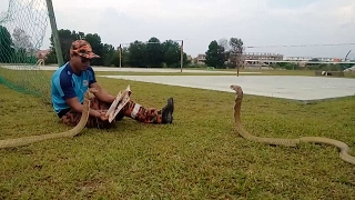 Cobra Handler Plays With Snakes
