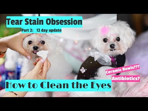 Tear Stain Obsession Part 2: How to Use Love My Eyes and Pretty Eyes to Clean Tear Stains 말티즈