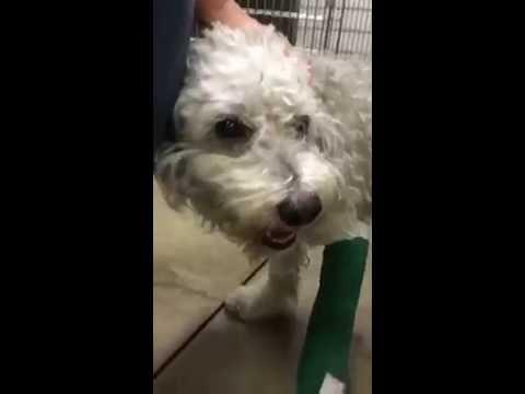 CISCO! Needs Leg Amputation!  LAAS East Valley ~ Animal ID #A1647805