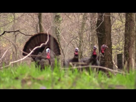 West Virginia 2017 Turkey Hunt - Opening Day -