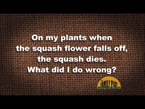 Q&A – On my squash when the flower falls off the squash dies. Why?