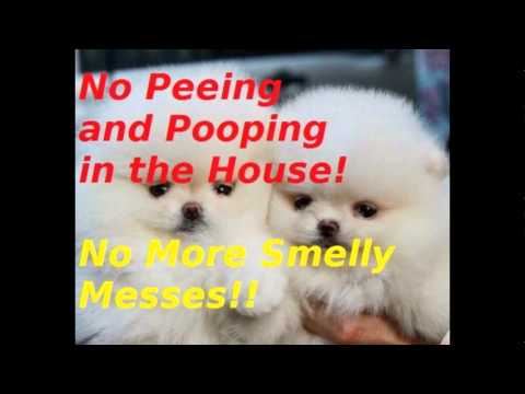 }} Train Pomeranian Puppy Not To Pee & Poo in the House!