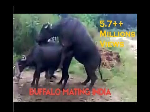 Xxx Mp4 Buffalo Mating 3gp 3gp Sex