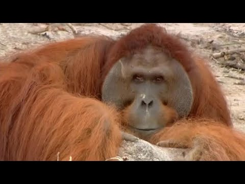 Xxx Mp4 Hercules The Orangutan Orangutan Diary BBC 3gp Sex