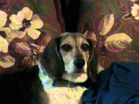 Gone With the Wind Beagle