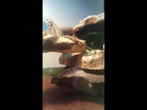 Bearded dragon ate house centipede