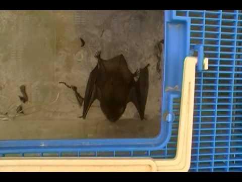 BAT IN UMBRELLA