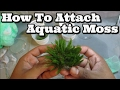 How to attach Moss To Driftwood (Easy) Flame, Weeping and Java+