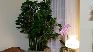 Zz plant Easy Care and tips