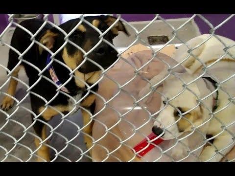 The Humane Society of Southern Arizona 5-1-18 Doggies Adoptable - Marvolo & Salazar 4 Mo. Old Males