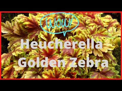 Heucherella Golden Zebra
