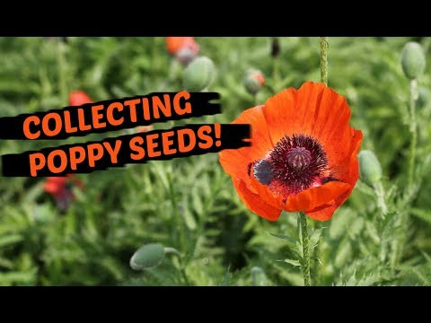 How To Collect Poppy Seeds - THE EASIEST METHOD!
