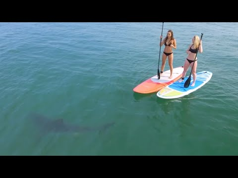 Great White Sharks Give Bikini-Clad Paddleboarders Scare of Their Lives
