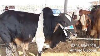 204 | Cow Mandi 2019 Multan | Bachro ki Taza Tareen Rate Janiye
