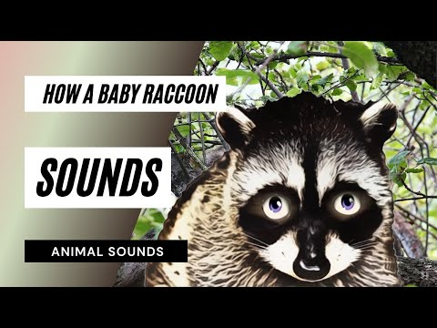 How A Baby Raccoon Chitters - Sound Effect - Animation