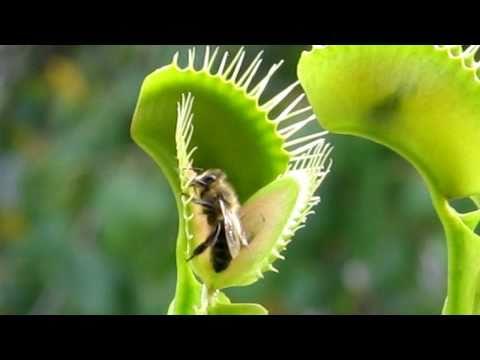 Venus flytrap eating a bee