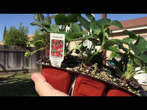 Growing Aquaponic Strawberries - Coming soon!