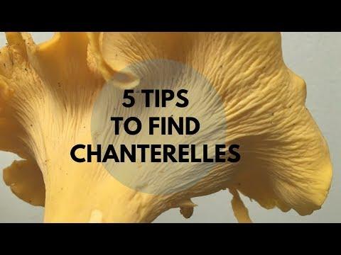 5 Tips to Find Chanterelles 鸡油菌采集小窍门