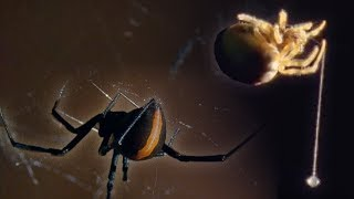 Red Back Spider | Attenborough: Life in the Undergrowth | BBC