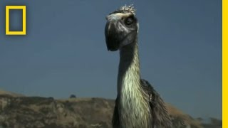 Terror Bird vs. Wolves | National Geographic
