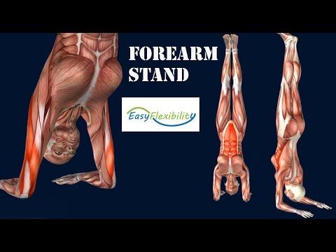 How to Forearm Stand Pincha Mayurasana Yoga GymnasticsMuscle Anatomy EasyFlexibility