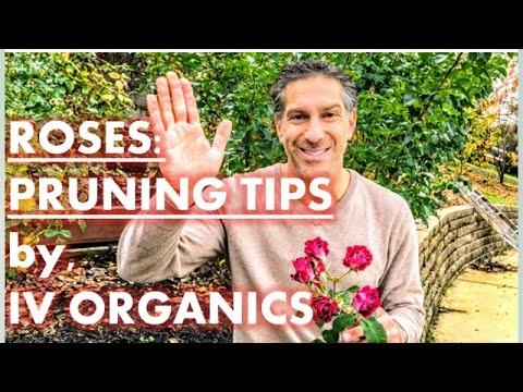 ROSES | Pruning Tips by IV Organics | Walnut Creek, California
