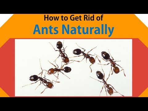 How to Get Rid of Ants Fast Naturally | Get Rid Ants with White Vinegar, Peppermint