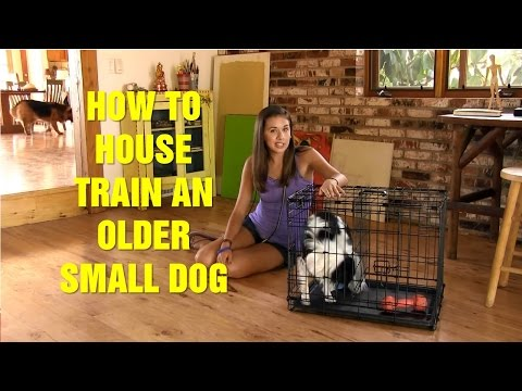 How to House Train an Older Small Dog   Older Dog Potty Training